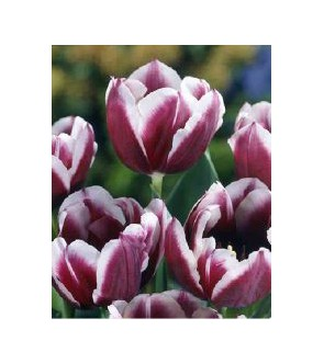 Tulipano stelo lungo Jackpot