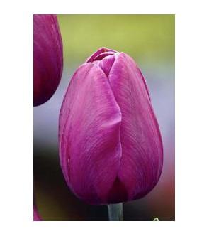 Tulipano stelo lungo Blue...