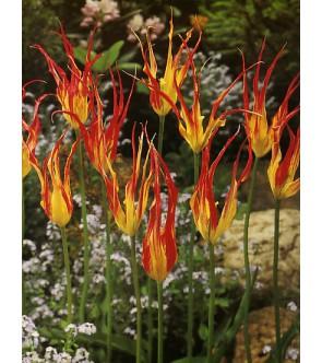 Tulipano Acuminata