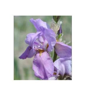 Iris pallida blù