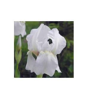 Iris pallida bianco