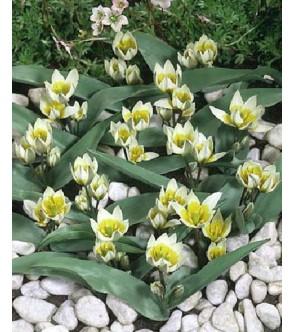 Tulipano Biflora