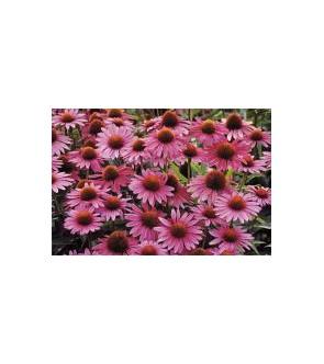 Echinacea purpurea Magnus...