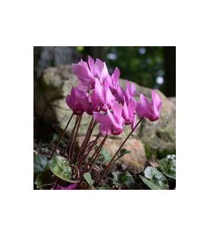Ciclamino purpurascens