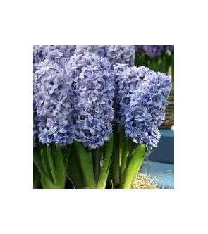 Giacinti Blue Tango