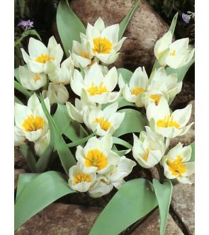 Tulipano polychroma
