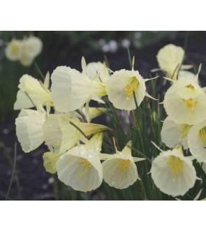 Narciso bulbocodium Spoirot