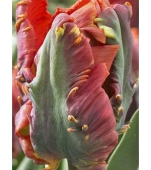 Tulipano pappagallo Blumex...