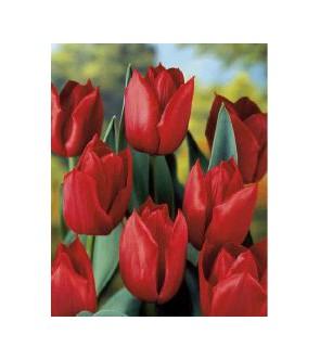 Tulipano stelo lungo Pallada