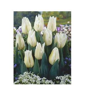 Tulipano stelo lungo Agrass...