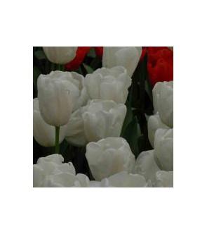 Tulipano stelo lungo Snowboard