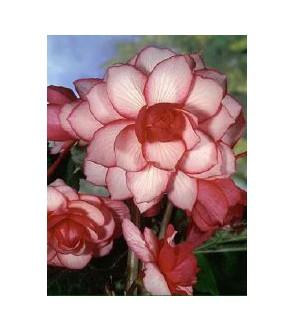 Begonia Doppia Bouton de Rose