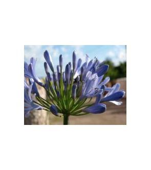 Africanus blu