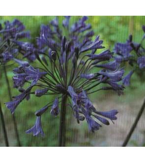 Agapanthus Black Beauty