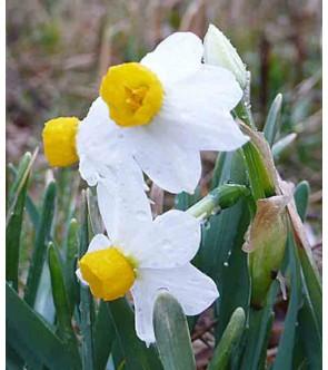 Narciso tazetta canaliculatus
