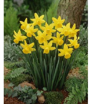 Narciso cyclamineus...