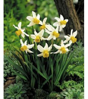 Narciso cyclamineus Jack Snipe