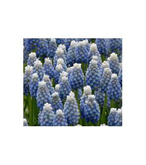 Muscari armeniacum Lady Blue