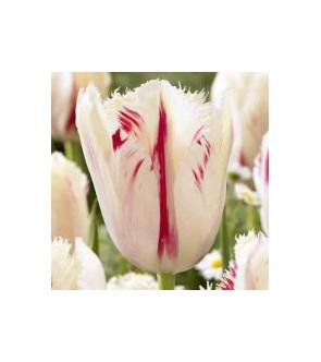 Tulipano crispa Carousel
