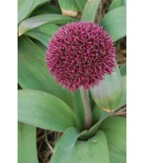 Allium Ostara