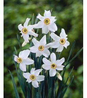 Narciso poeticus Recurvus