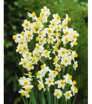 Narciso Paperwhite Chinese...