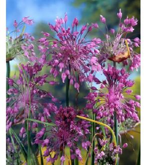 Allium carinatum ssp...