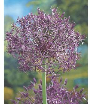 Allium christophii sin....