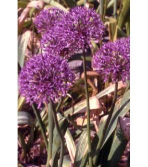 Allium Globus