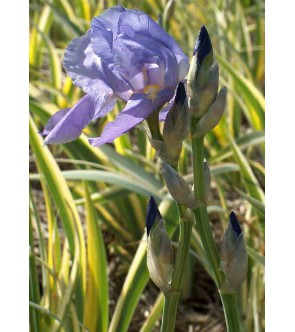 Iris pallida aureovariegata