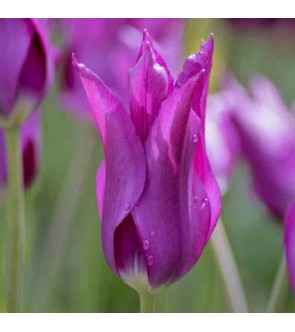 Tulipano fior di giglio Purple Dream