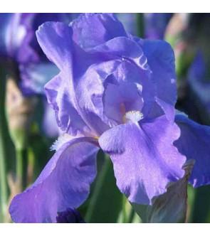 Iris germ. rifiorente...