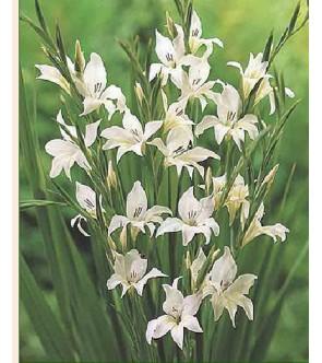 Gladiolo colvillei albus