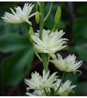 Camassia leichtlinii Semiplena