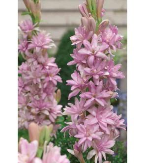 Polianthus tuberosa Pink...