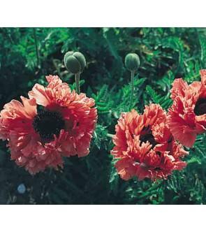 Papavero doppio Garden Glory