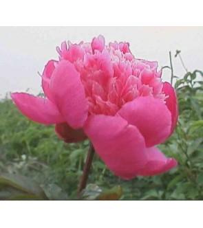 Paeonia Amabilis