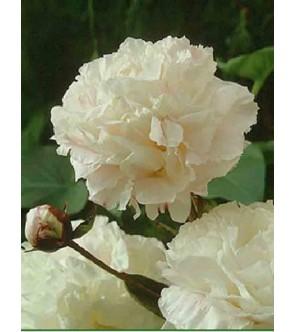 Paeonia Shirley Temple