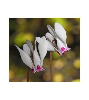 Ciclamino cyprium