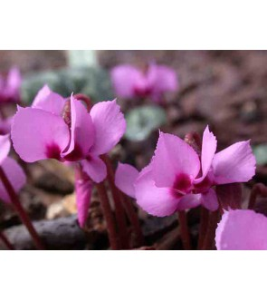 Ciclamino alpinum ( syn...