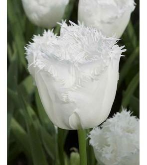 Tulipano crispa Daytona