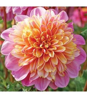 Dalia fior d'anemone Life...