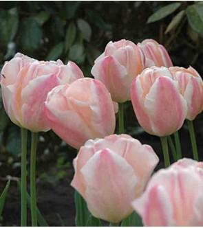 Tulipano stelo lungo Sugar...