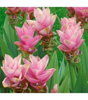 Curcuma zeodaria Pink Wonder