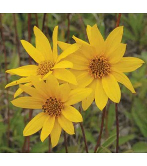Helianthus occidentalis