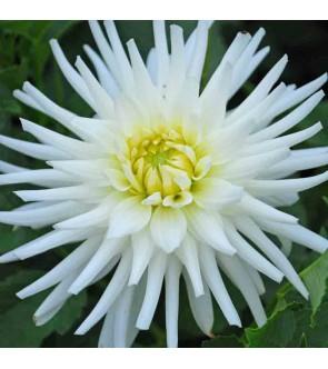 Dalia cactus My Love