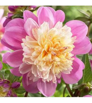 Dalia fior d'anemone Take Off