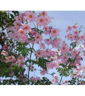Dalia imperialis rosa