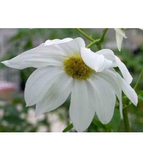 Dalia imperialis bianca
