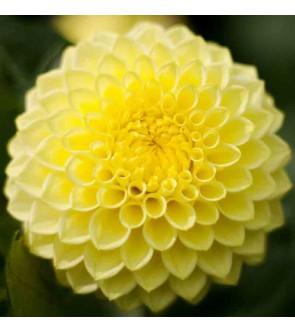 Dalia pompon Deepest Yellow